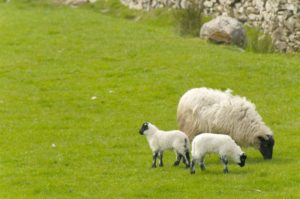 a sheep with two lambs in a field